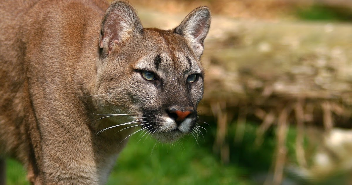 Mature Cougar Porn