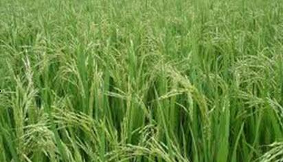 Phát Triển Sản Xuất Lúa Gạo Vùng Đbscl