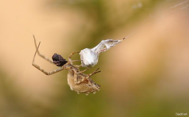 Araignée crabe avec une proie