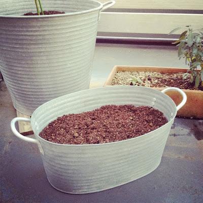 ブリキバケツに植えたミモザとムスカリの球根