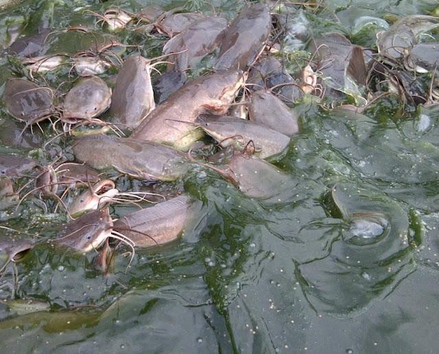 Cara Budidaya Ikan Lele Organik