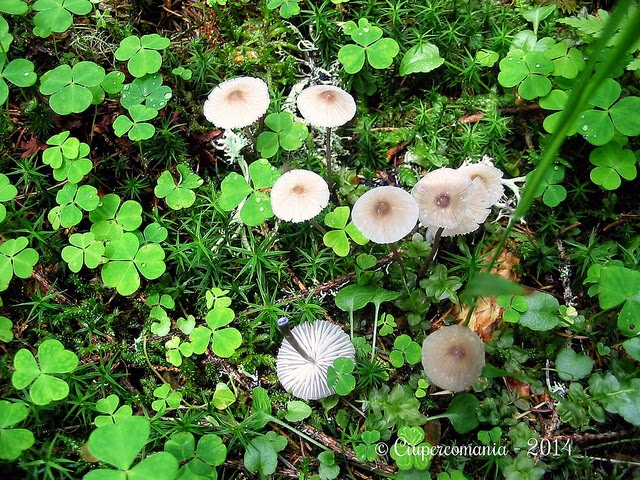 Mycetinis_scorodonius