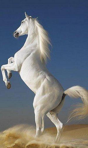True white Horse