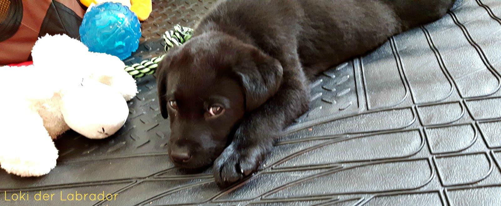 Labrador Welpe Loki Erstausstattung
