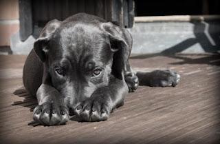 Cachorro enfermo, que muestras síntomas de depresión por alguna enfermedad
