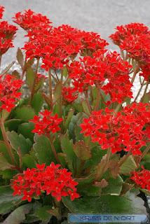 Kalanchoe sp. - Kalanchoés horticoles divers