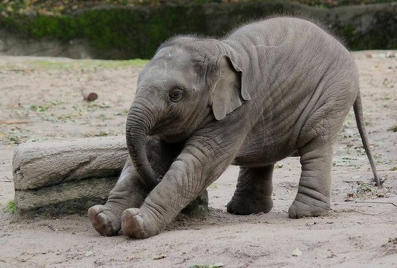 gajah bangun tidur mengolet