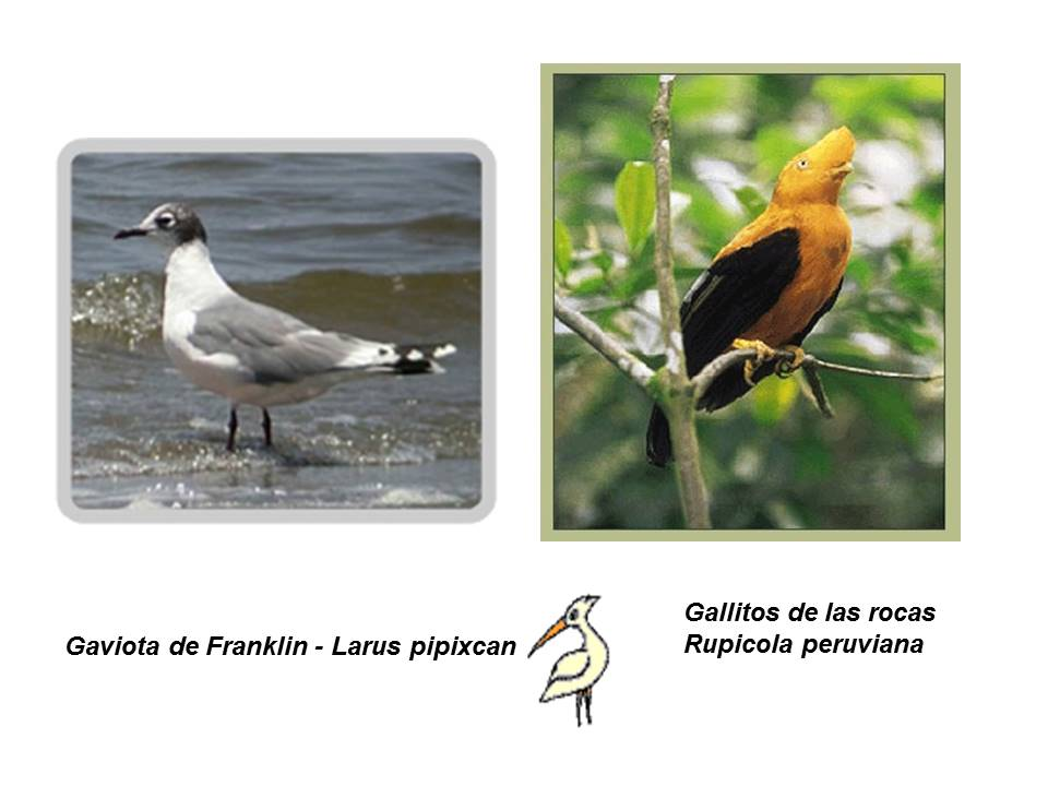 Gaviota de franklin reproduccion asexual en