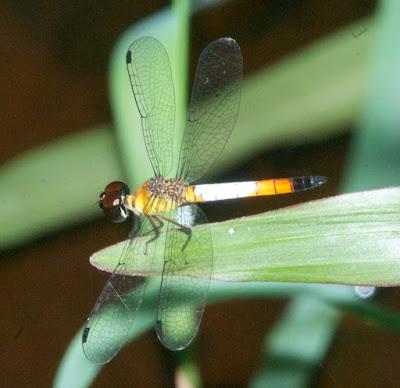Brachygonia oculata