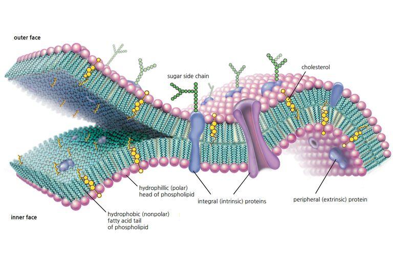 Ciencias de Joseleg: 1 INTRODUCCIÓN Y TEGUMENTO EN BACTERIAS