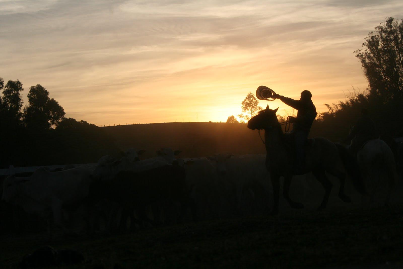 tocando-gado-por-do-sol-nelore