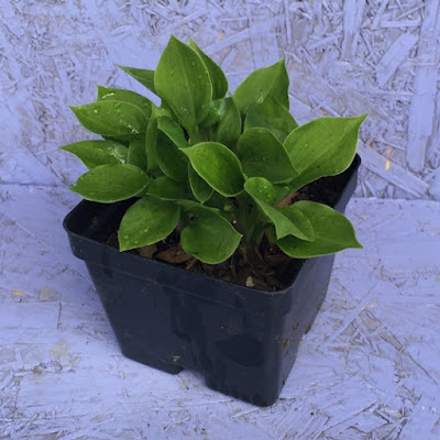Teaspoon Hosta