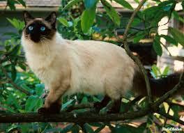 Balinese-Kedi