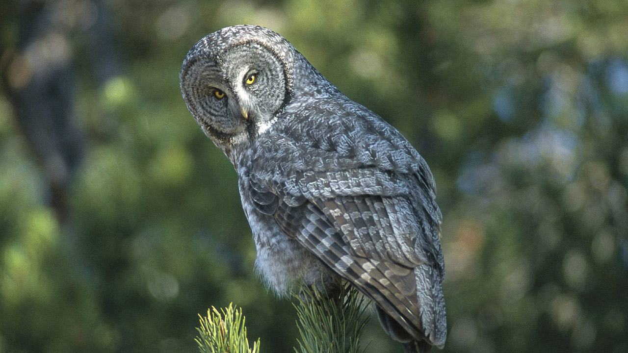 Owl Full HD Wal... Owl Desktop Wallpaper Hd