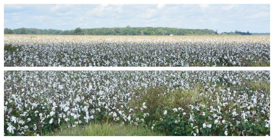 Champs de coton du Mississippi au Tennessee