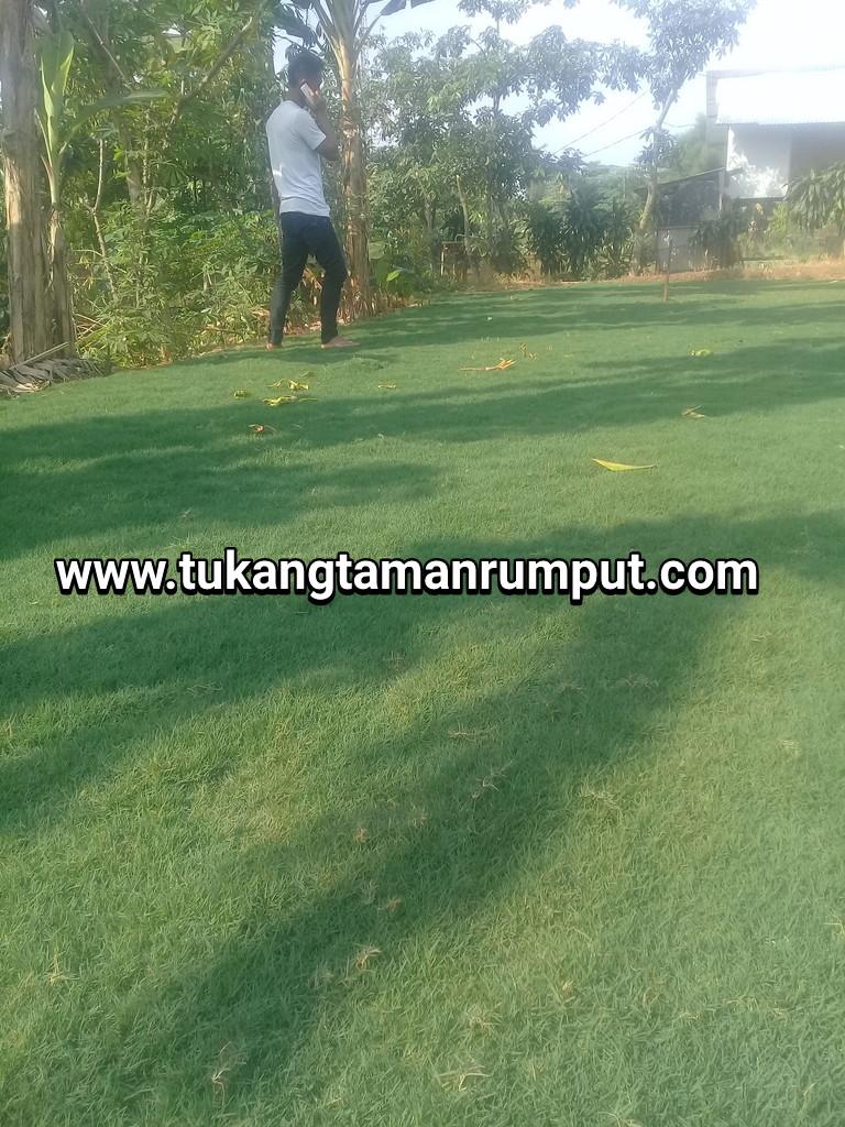 Jual Rumput Gajah Mini Swissjepanggolf Di Sukabumi Tukang Taman Biji Golf Green Adalah Yang Sering Kita Jumpai Pada Lapangan Ini Memiliki Dau Lebih Pendek Dibanding Dengan Lain