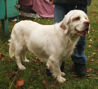 Clumber Spaniel-pets-dog breeds-pet-dogs