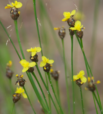 Carolina or Bog yellow-eyed grass (Xyris difformis)
