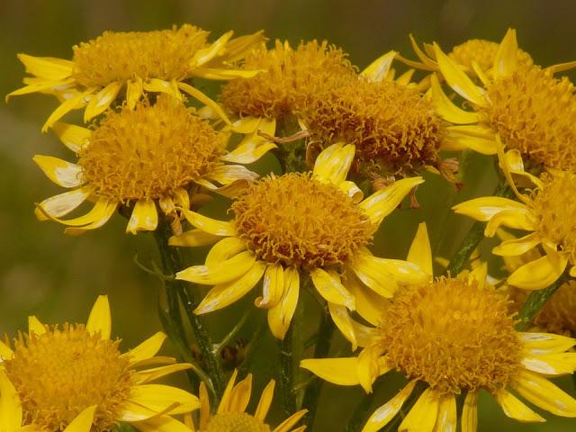 Árnica, diccionario visual de plantas