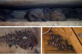 Bats Canada How To Get Rid Of How Are Bats Getting Into