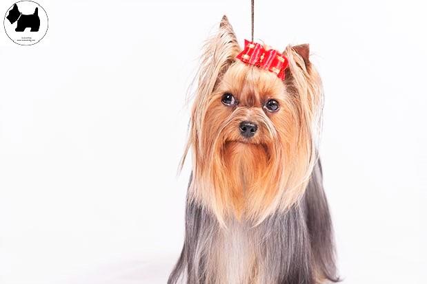 Cutest Dog Breeds, Best Dog, Yorkshire Terrier Dog