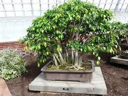 gambar bonsai beringin dalam pot