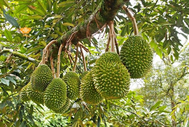 Musang King at Durian Wonderland