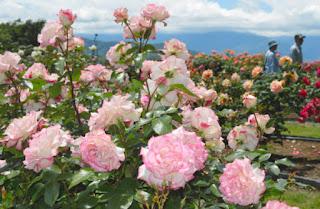 高遠しんわの丘ローズガーデンバラ祭り