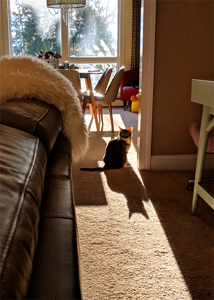 image of Sophie the Torbie Cat sitting in a stream of sunshine in the threshold between the dining room and living room, with her ears lit up from behind by the light