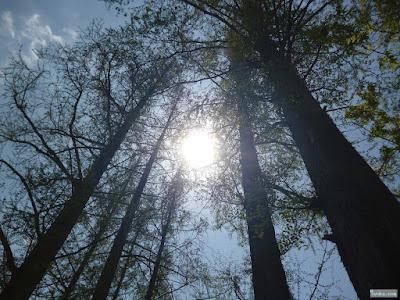 メタセコイアと太陽