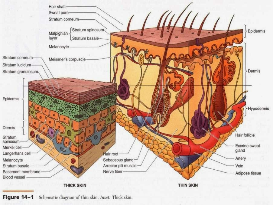 Pengertian Anatomi dan Istilah-istilahnya pada Tubuh Manusia