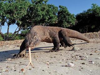 Keajaiban Dunia Komodo Dragon