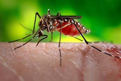मच्छरों को दूर भगाने वाले पौधे लगायें