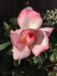 Secret, hybrid_tea, rose
