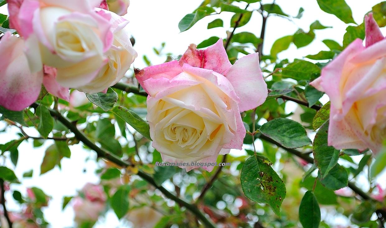 Rose: A Rose Is A Rose...: What's In A Name: A Tea Or Not A Tea
