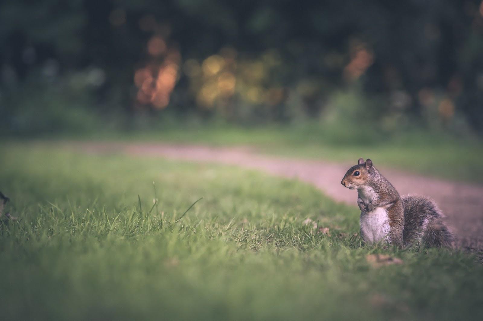 gray squirrel wallpaper - photo #30