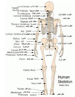 مكونات الجهاز العظمي اوالهيكلي