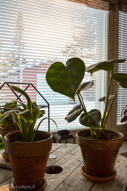 viherkasvi kasvi kukka koti peikonlehti trendikäs sisustaminen