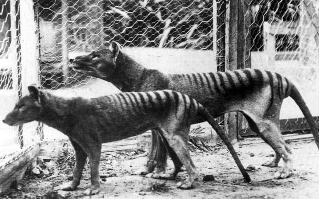 Los últimos tigres de Tasmania