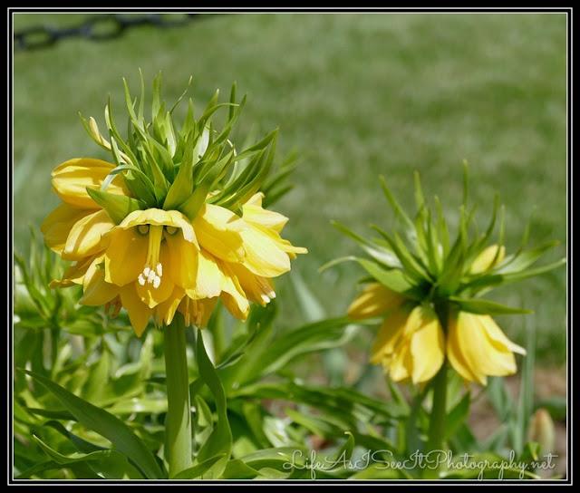Yellow Frittelarias