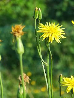 Scorzonera in flower