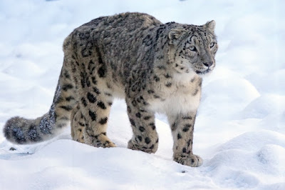 9 Awesome Unknown Facts About Snow Leopards