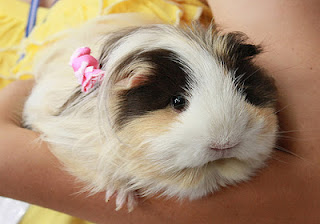 Do Guinea Pigs Make Good Pets The Mommy Diary