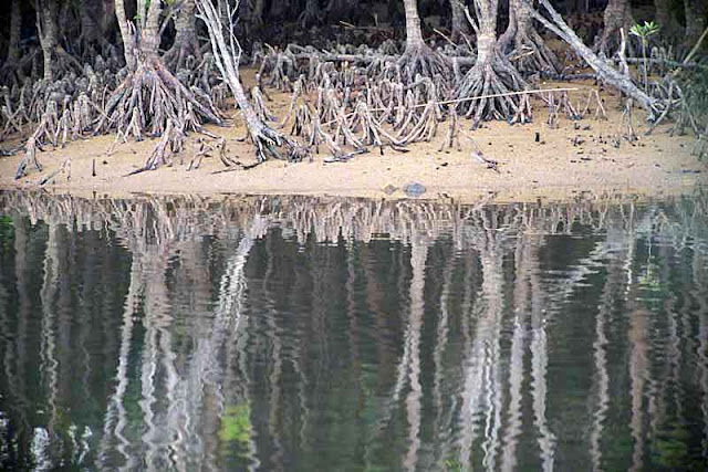 Mangrove trees, roots, river, reflections