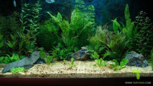 Cara Membersihkan Kaca Aquarium dari Kerak