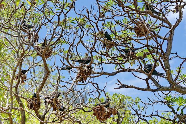 Heron Island Black Noddy Tern Nest Vögel Natur Insel Bäume