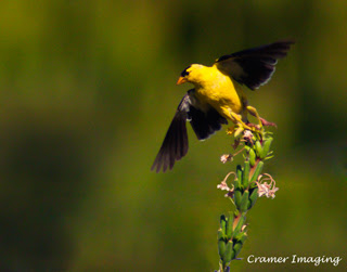 Cramer Imaging's professional quality nature animal photograph of yellow goldfinch bird taking off to fly in Pocatello, Bannock, Idaho in 11x14 format