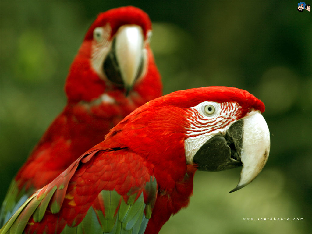 parrots wallpaper bird - photo #5