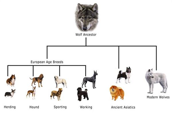 Geschiedenis van de hond, van wolf tot hond foto