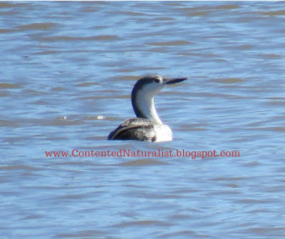 A red-throated loon, in non-breeding plumage, sits on the Potomac River
